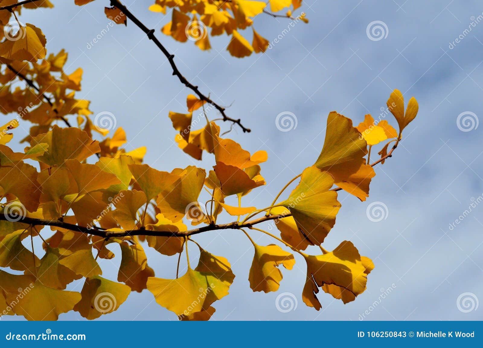 Yellow Leaves Ginko Biloba Maidenhair Tree