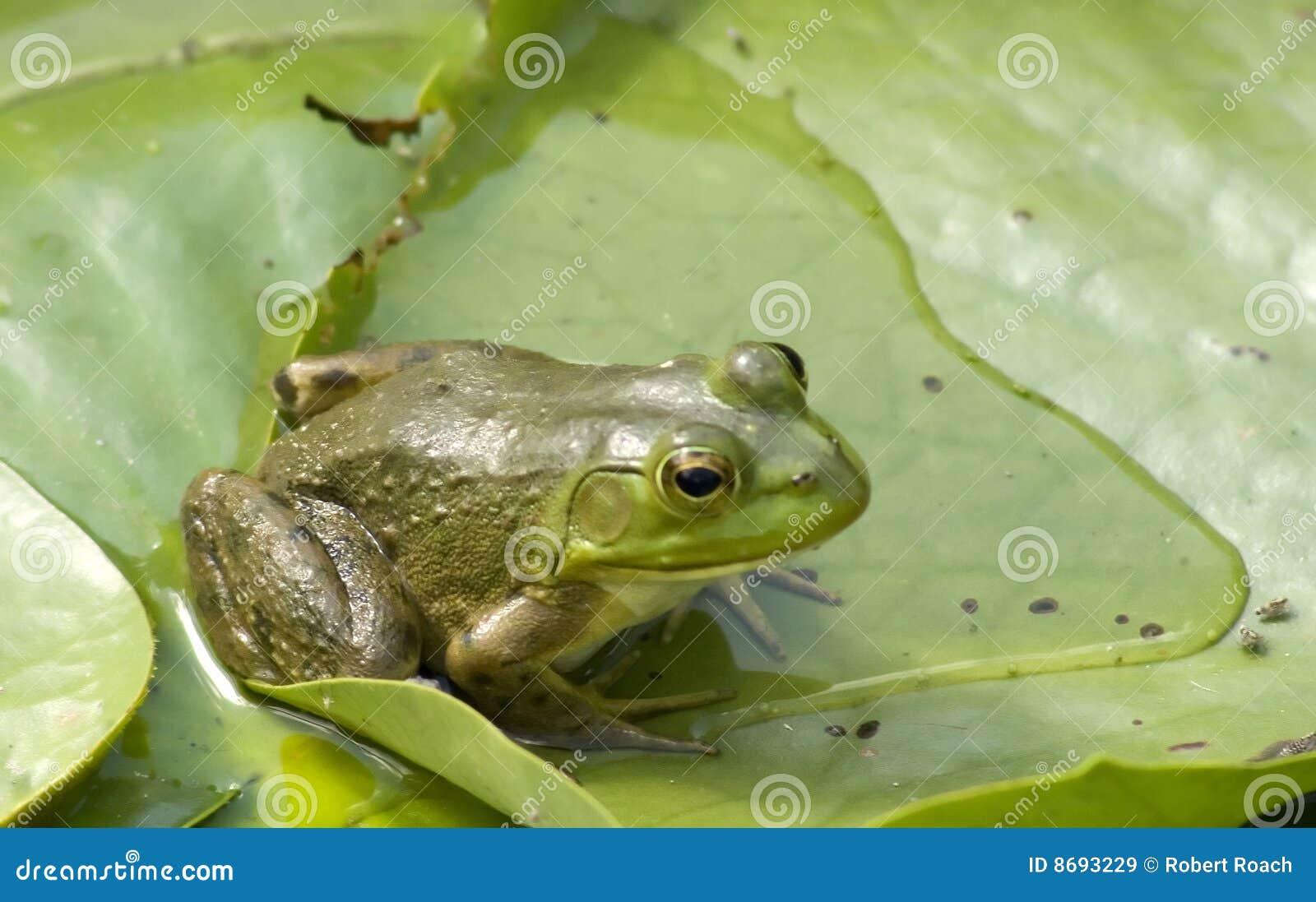 Striking Green frog