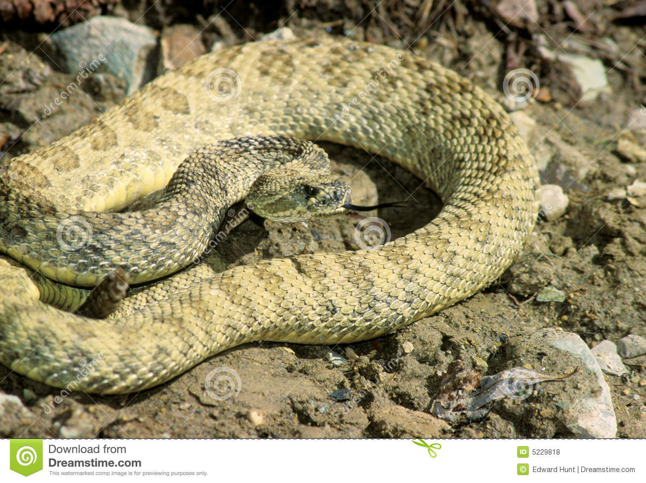 Striking Rattlesnake Royalty Free Stock Photos - Image ...