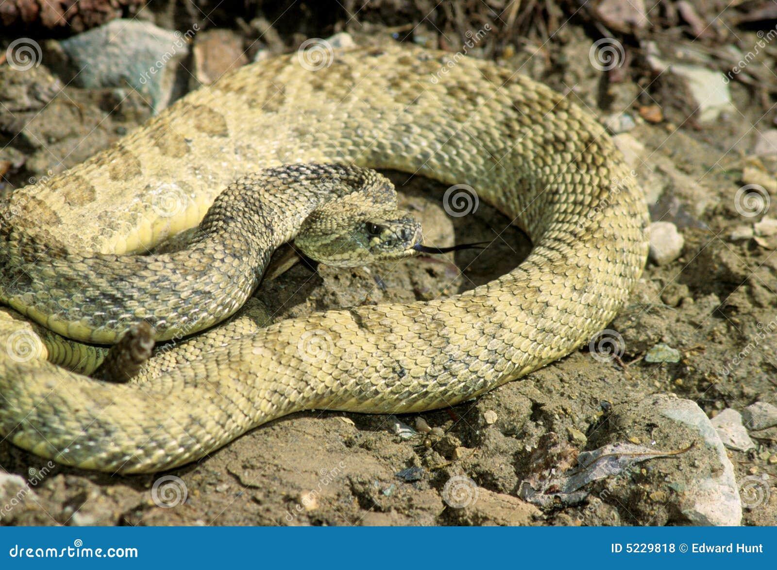 Striking rattlesnake