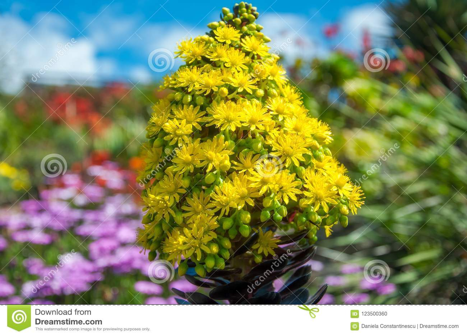 Yellow cone like flowers of the houseleek tree stock photo image download yellow cone like flowers of the houseleek tree stock photo image of australia mightylinksfo