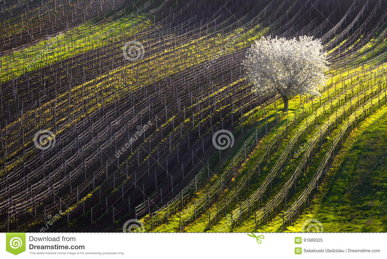 Strings of spring. The beginning of spring and the first flowering tree.White apple-tree and line of vineyards.