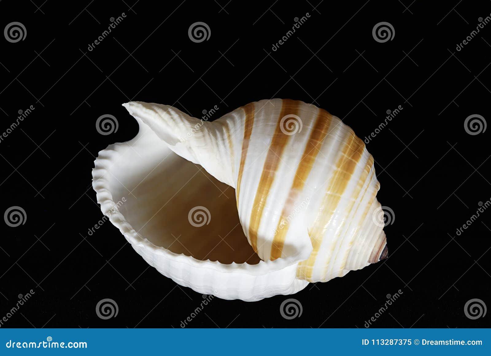 Striped раковина моря Cassidae на черной предпосылке