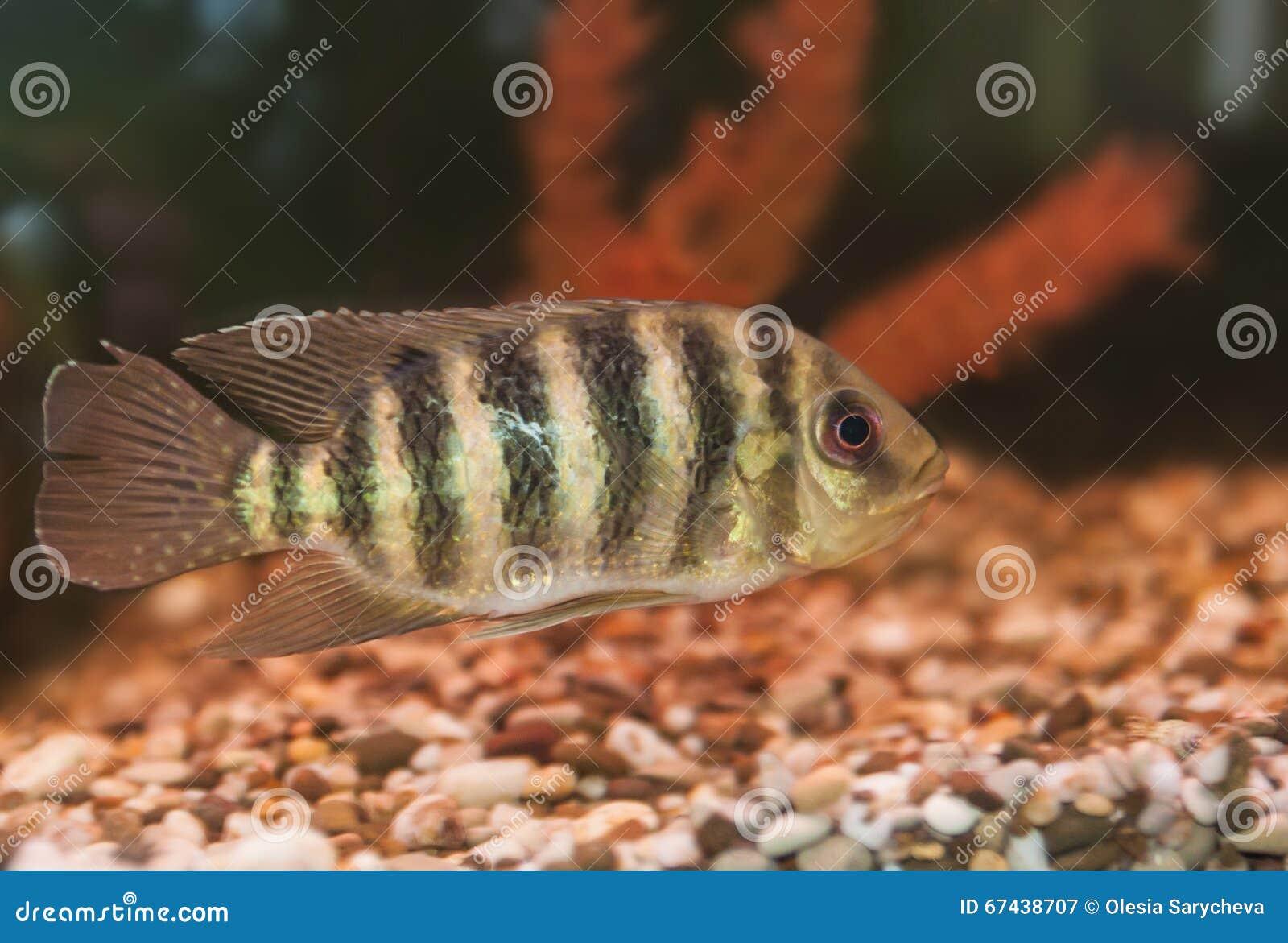 Striped Aquarium Fish Cichlid Group Stock Image Image Of Nature