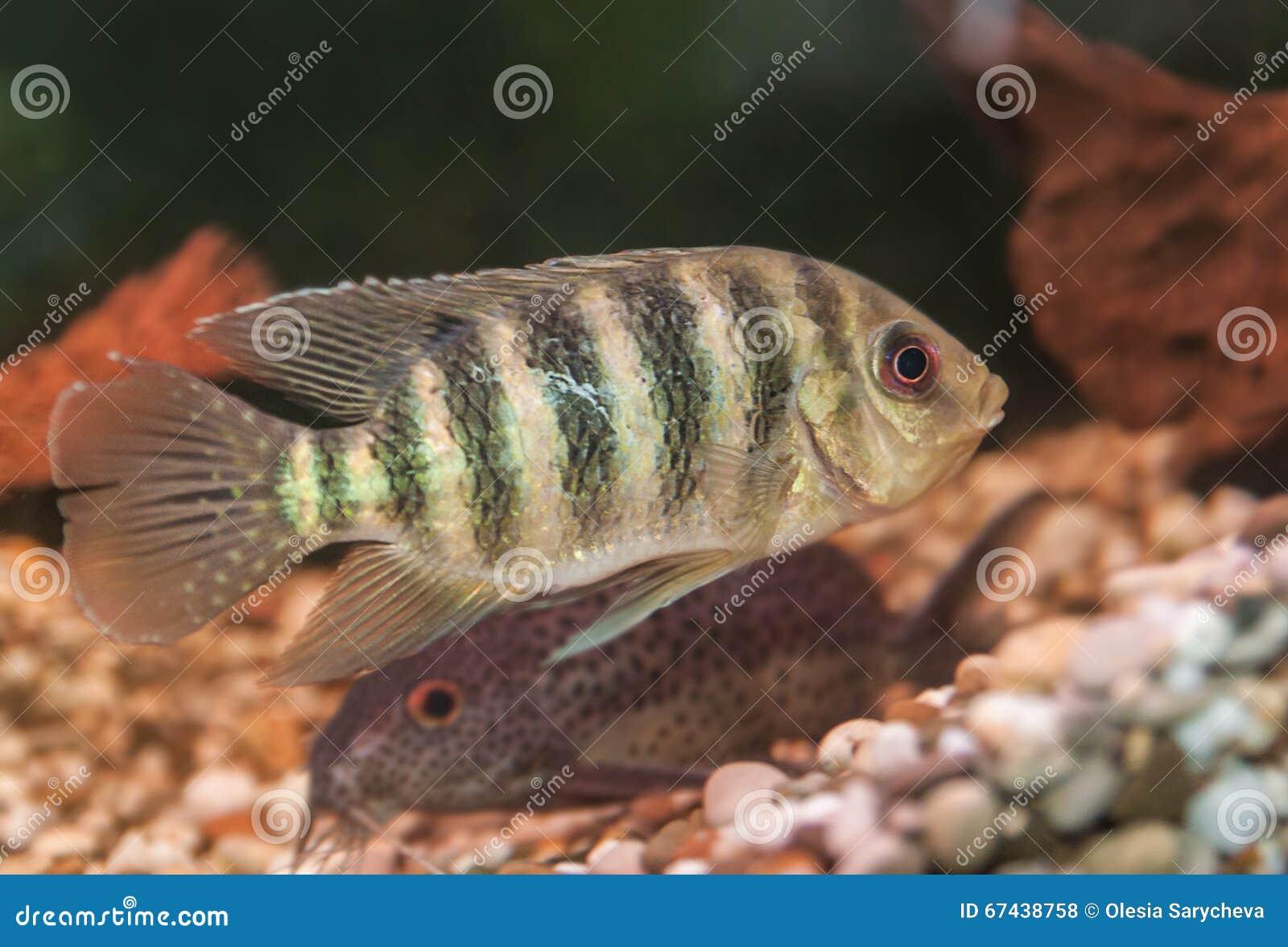 Freshwater aquarium fish by region - Striped Aquarium Fish Cichlid Group