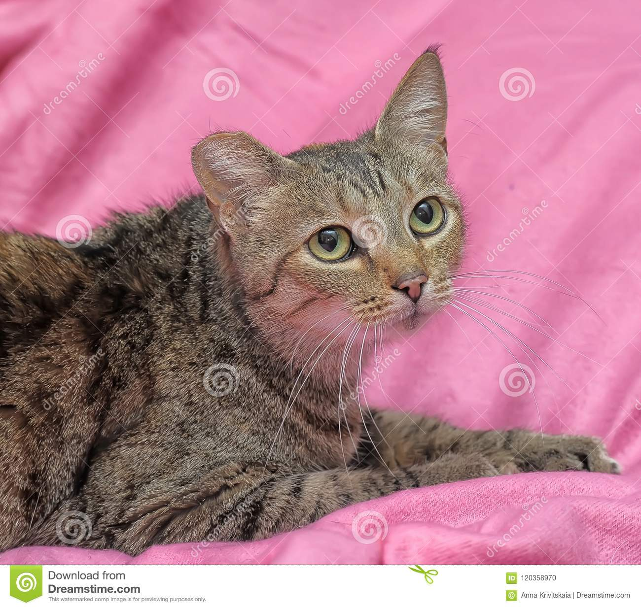 striped cat with a clipped ear