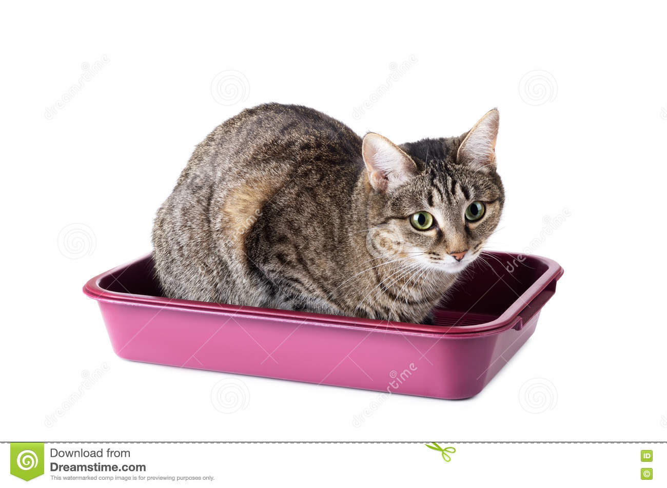 Download Striped Cat Sitting In Cat Toilet Stock Photo - Image of filler, object: 77407342