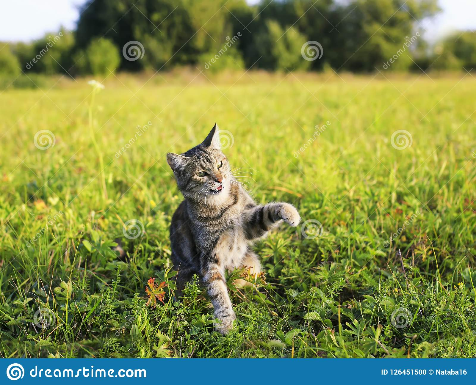 striped cat walking on green meadow summer clear day