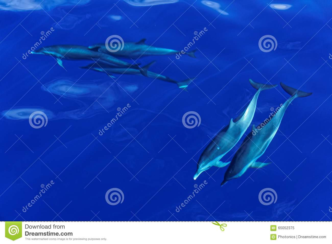 Striped Dolphins of the Carribian Island of Dominica