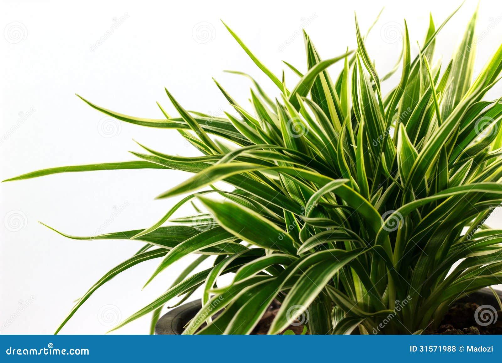 Striped Dracaena Plant Royalty Free Stock Photos Image