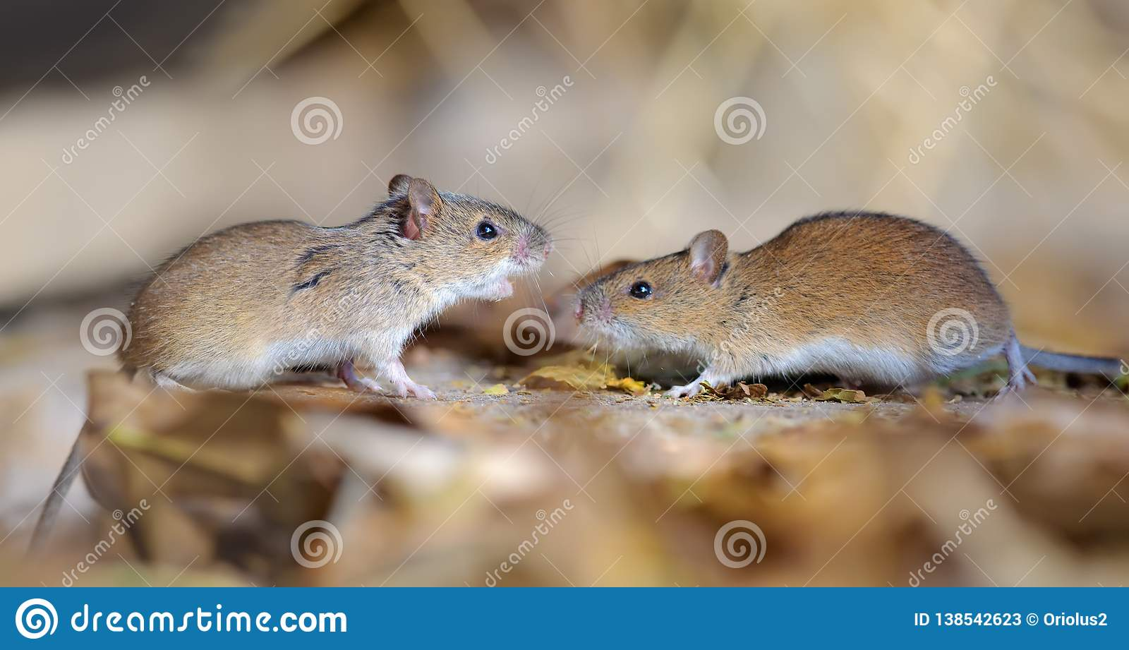 Striped field mice pair in dispute and conflict