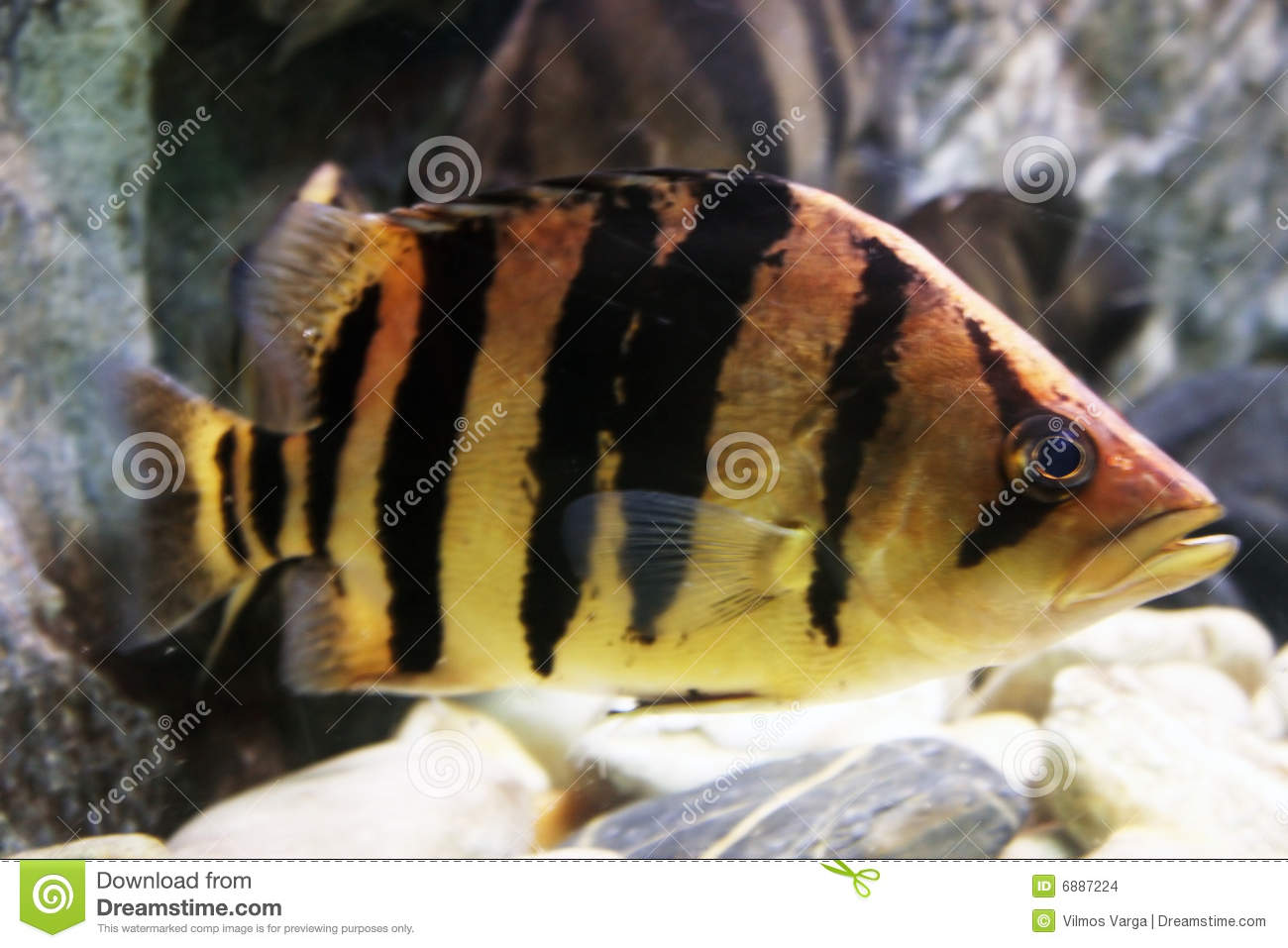 Striped fish stock images image 6887224 for Black and white striped fish freshwater