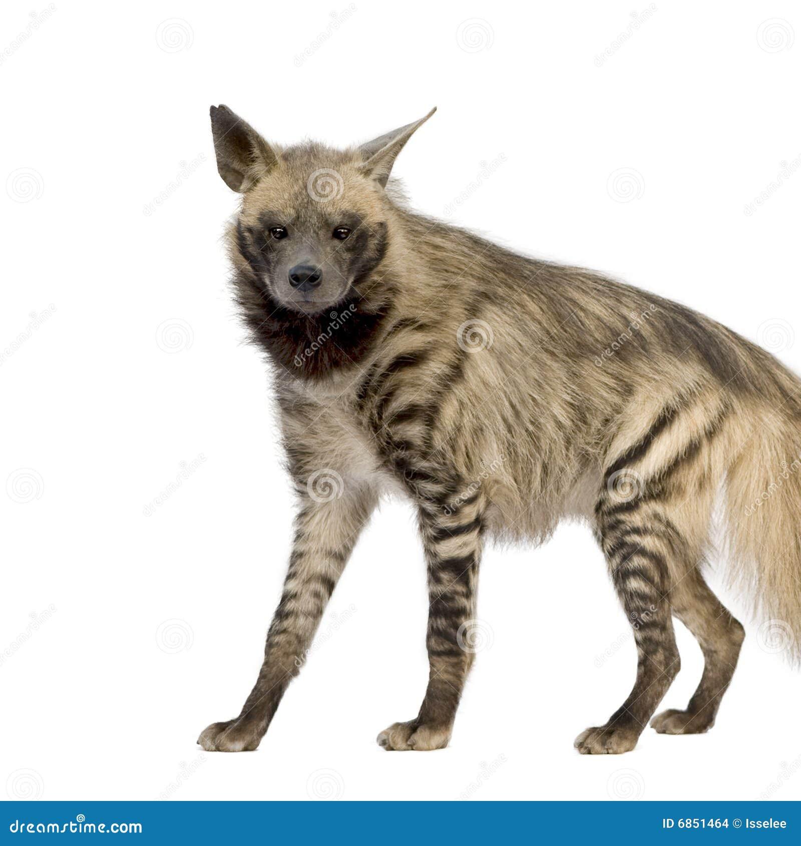 Striped hyena hyaena