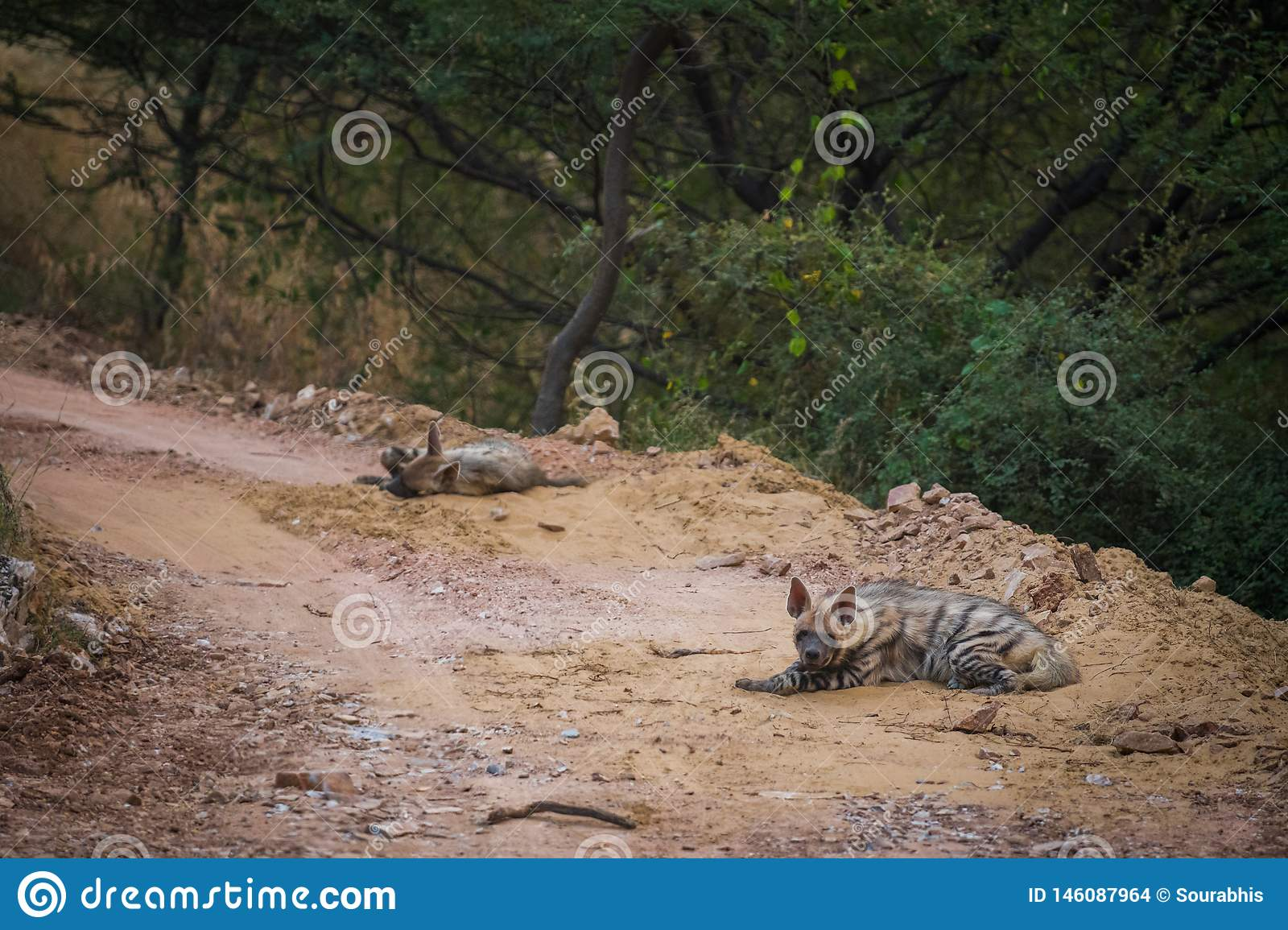Striped hyena Hyaena hyaena pair closeup resting in a cool place and shade with green background