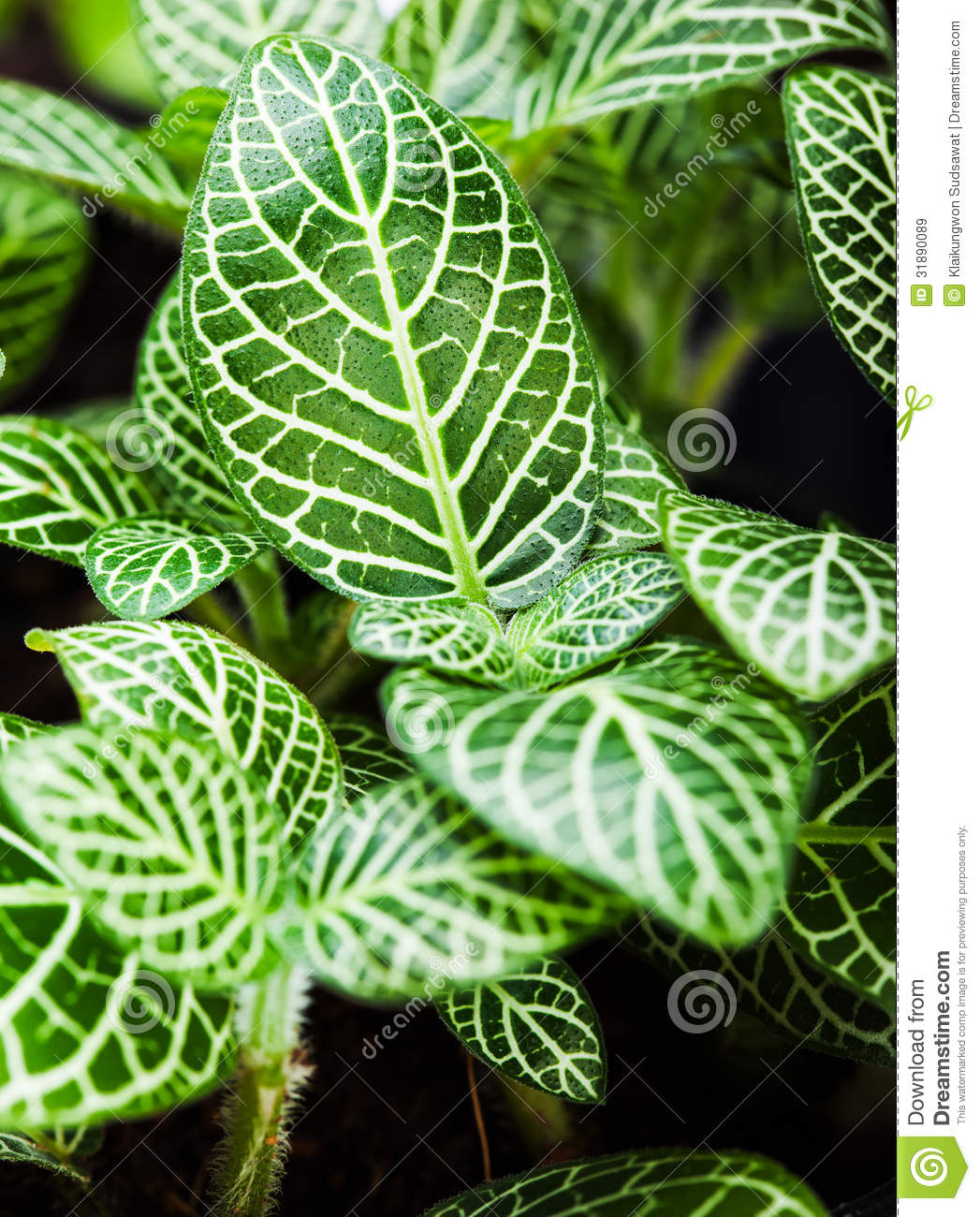 Striped Leaf Ornamental Plants Close Up Royalty Free Stock