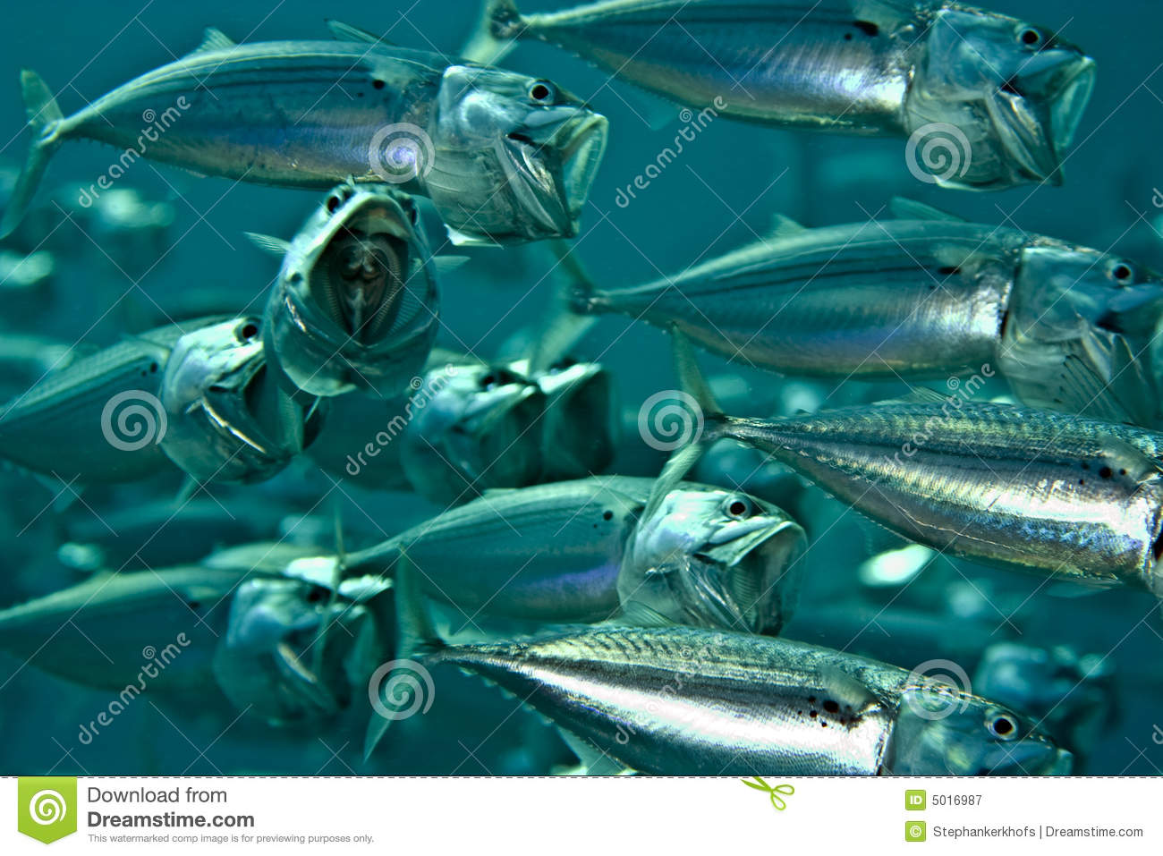 Striped mackerel (rastrelliger kanagurta)