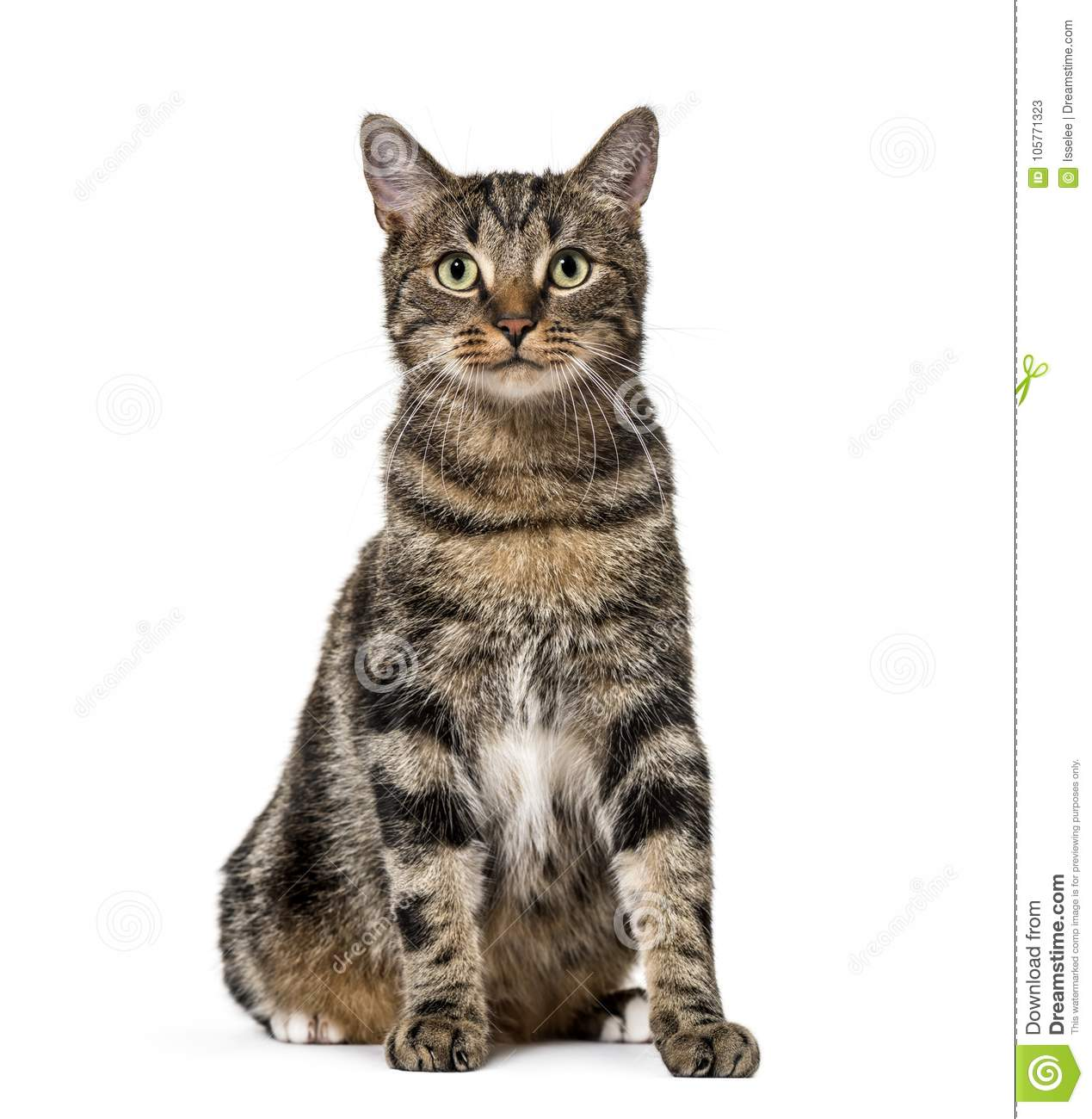 Download Striped Mixed-breed Cat Sitting, Isolated On White, (2 Years Old Stock Image - Image of breed, domestic: 105771323