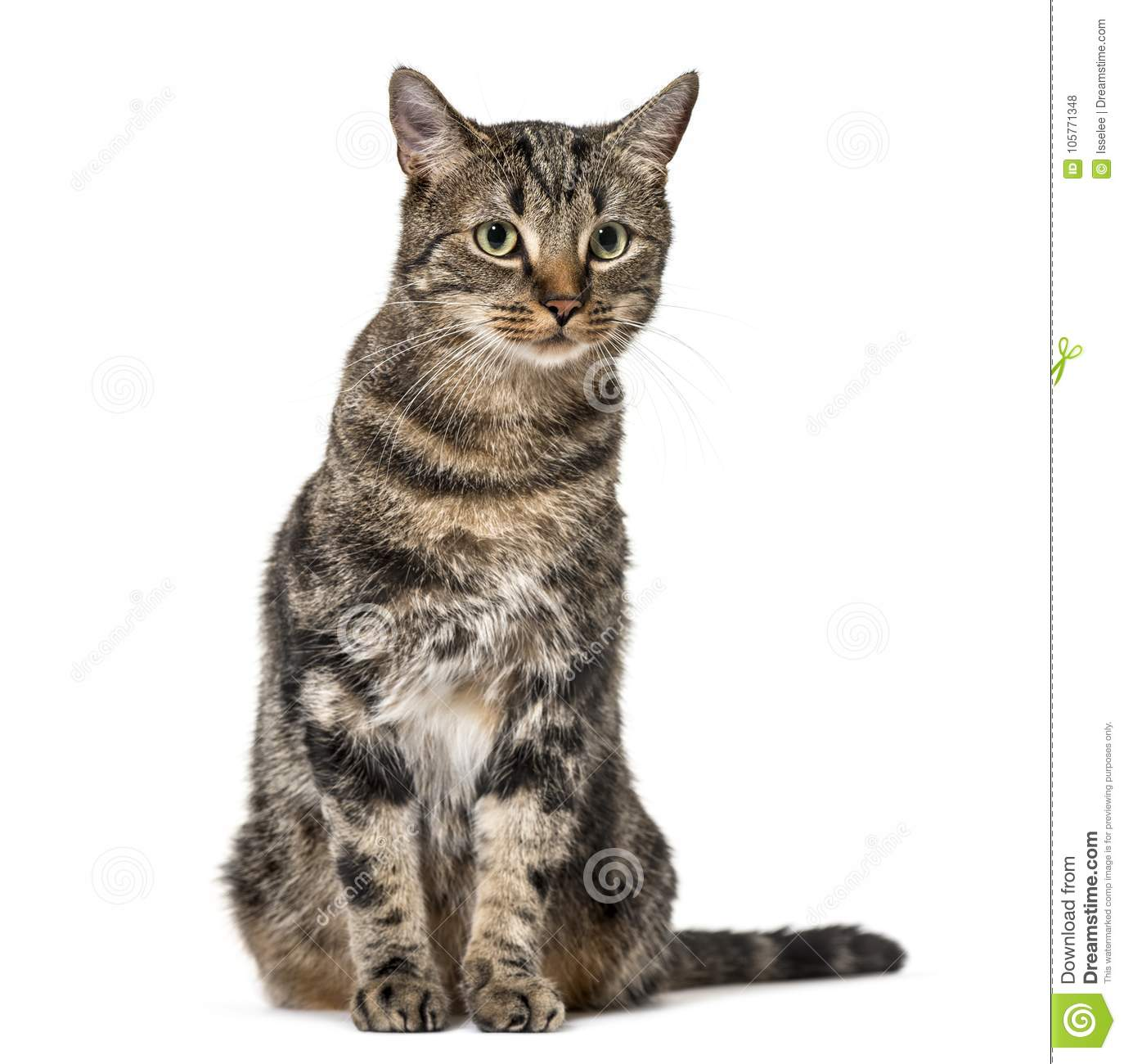 Download Striped Mixed-breed Cat Sitting, Isolated On White, (2 Years Old Stock Photo - Image of carnivore, animal: 105771348