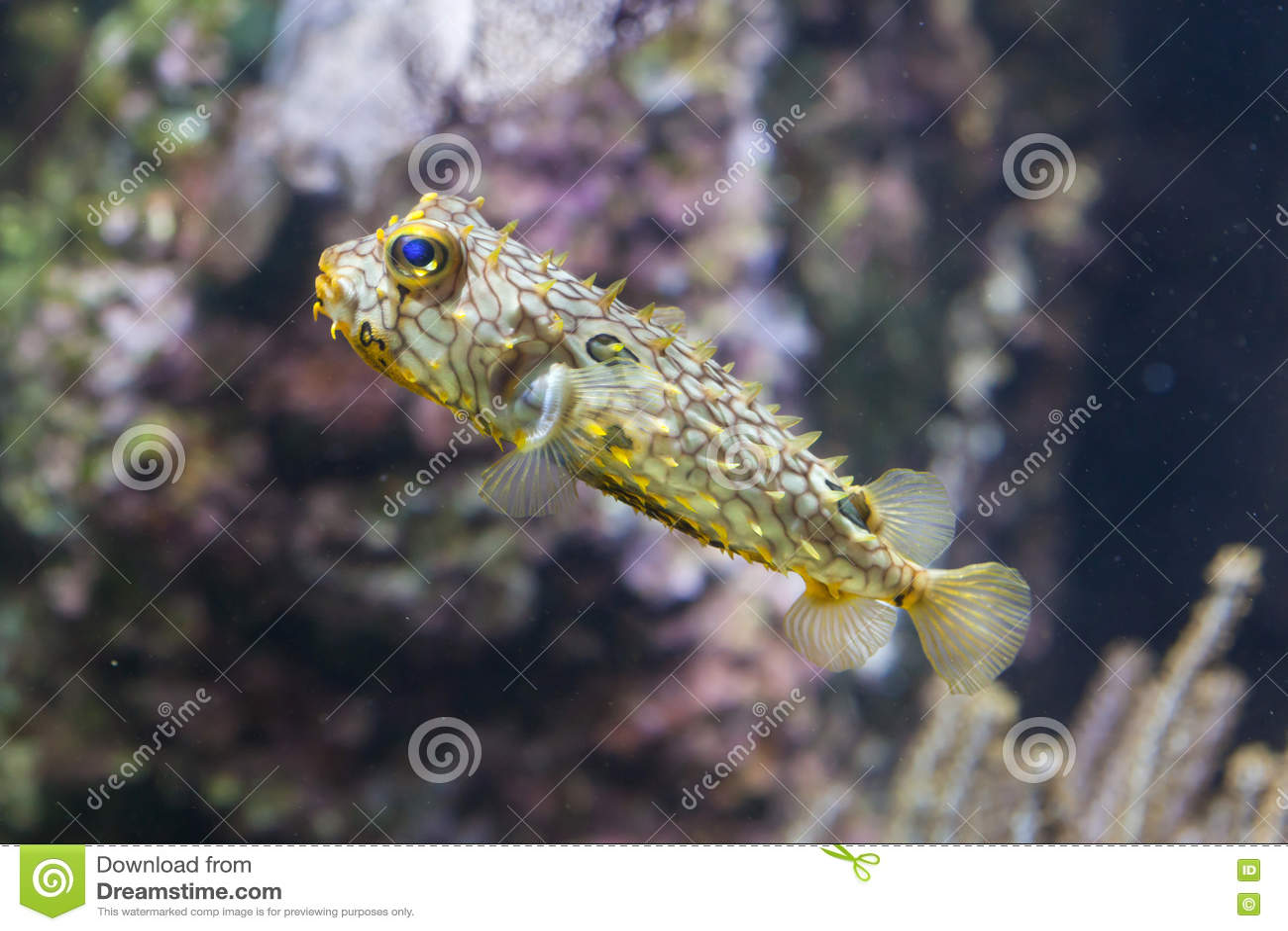 Striped schoepfi Chilomycterus burrfish