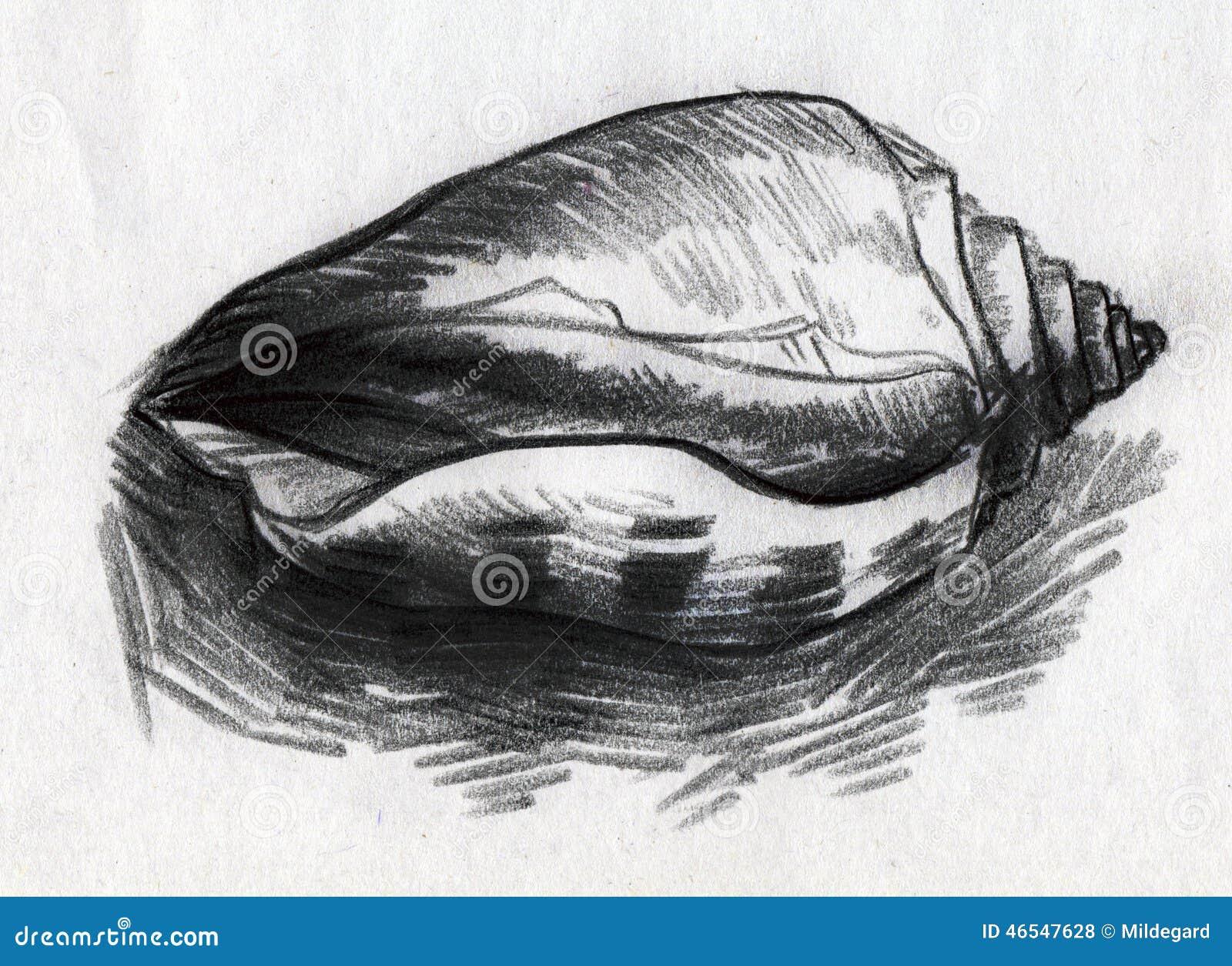 Uncategorized Shell Drawings striped sea shell sketch stock illustration image 46547628 royalty free illustration
