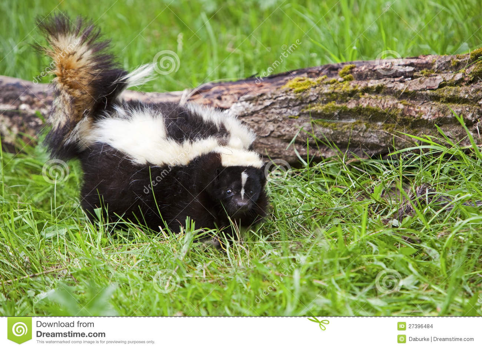 Striped skunk в траве