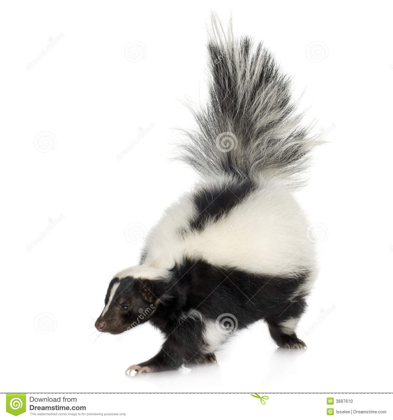 Striped skunk mephitis