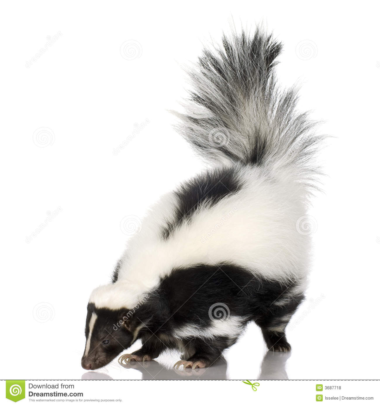 Striped Skunk Mephitis Mephitis Stock Photo Image 3687718