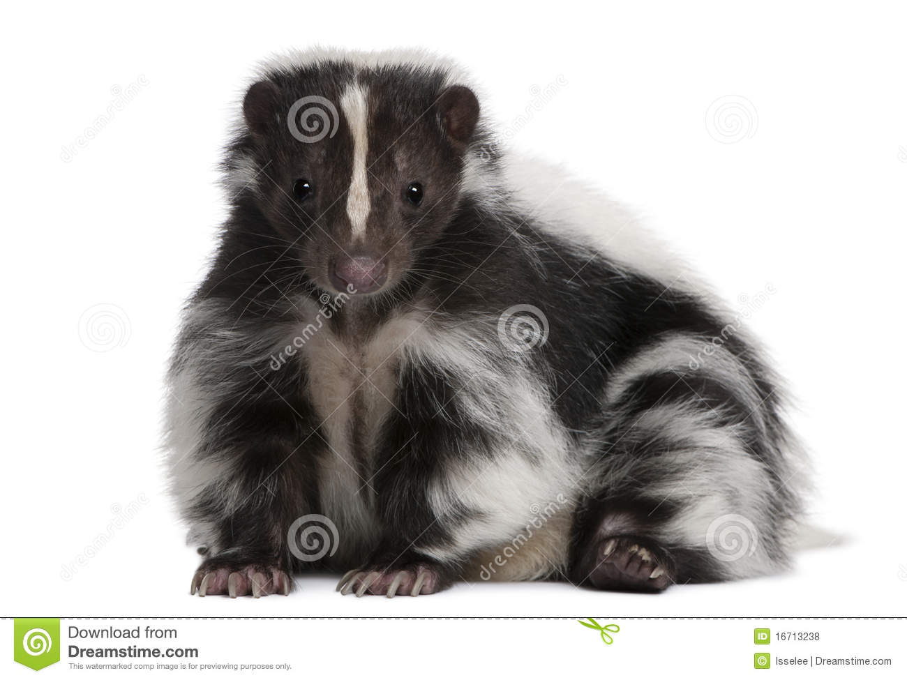 Striped Skunk, Mephitis Mephitis, 5 years old