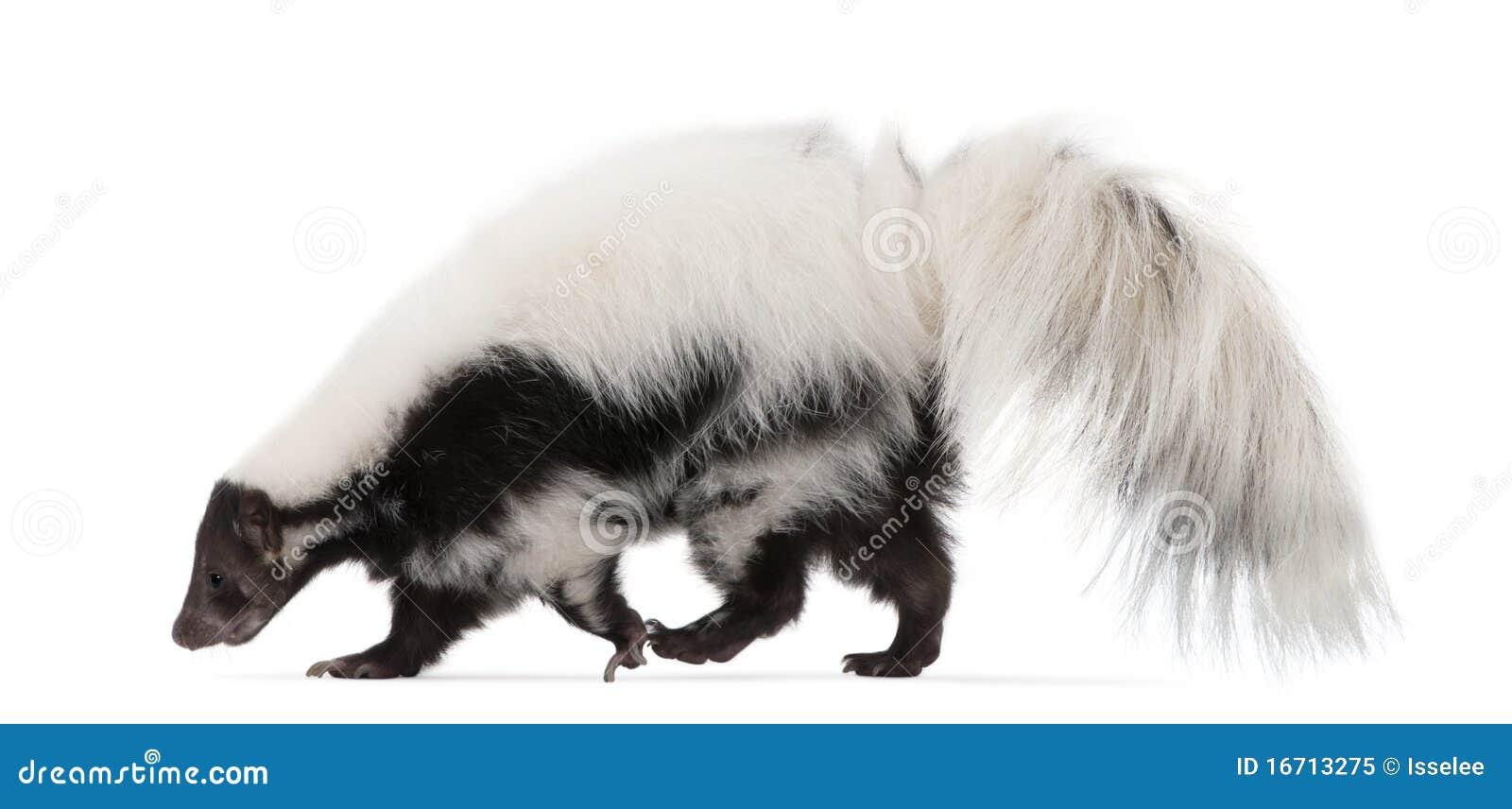 Striped Skunk, Mephitis Mephitis, 5 years old