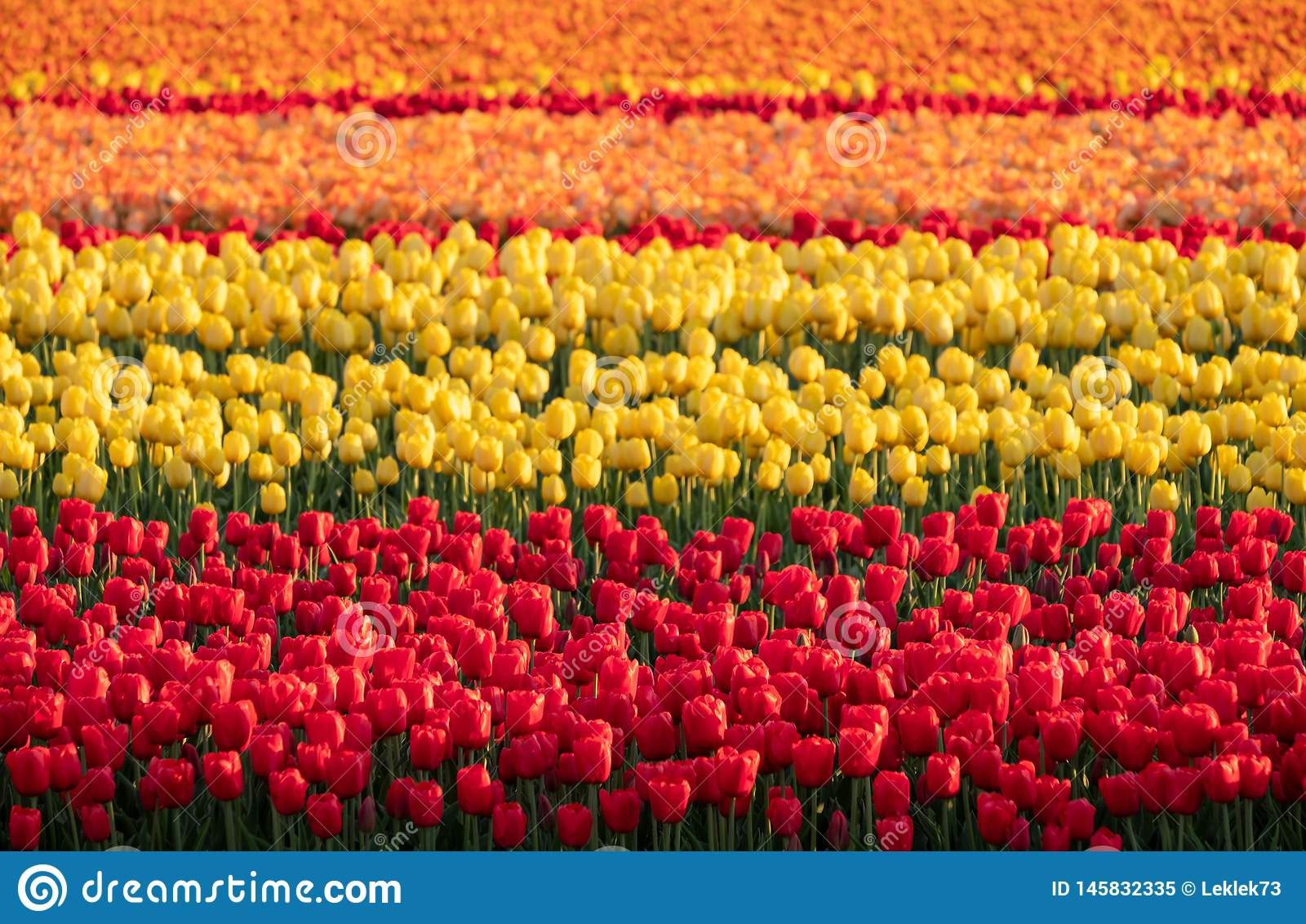 Stripes of colour: brightly coloured tulips reflect the evening light in a flower field near Lisse, Netherlands.