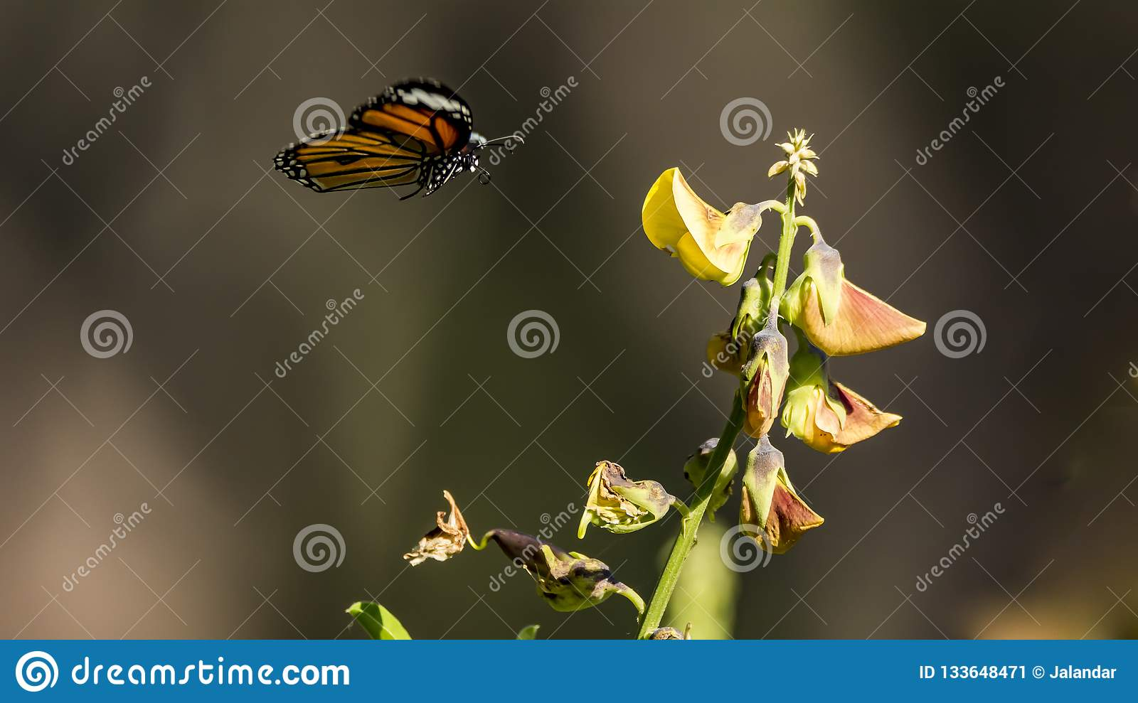 Stripped Tiger / Monarch butterfly landing with visible proboscis rolled up Danaus genutia