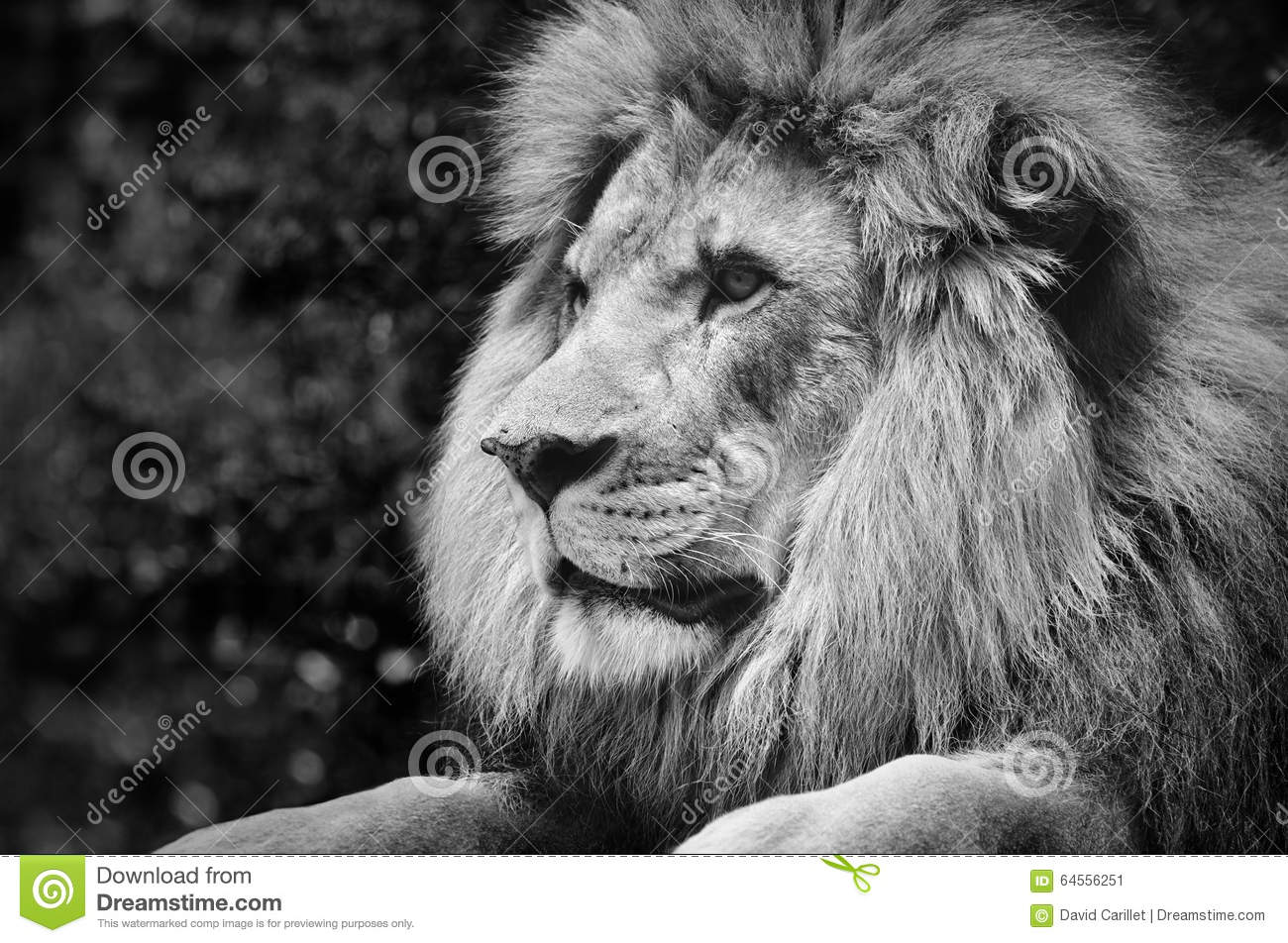 Strong Contrast Black And White Of A Male Lion In Kingly Pose