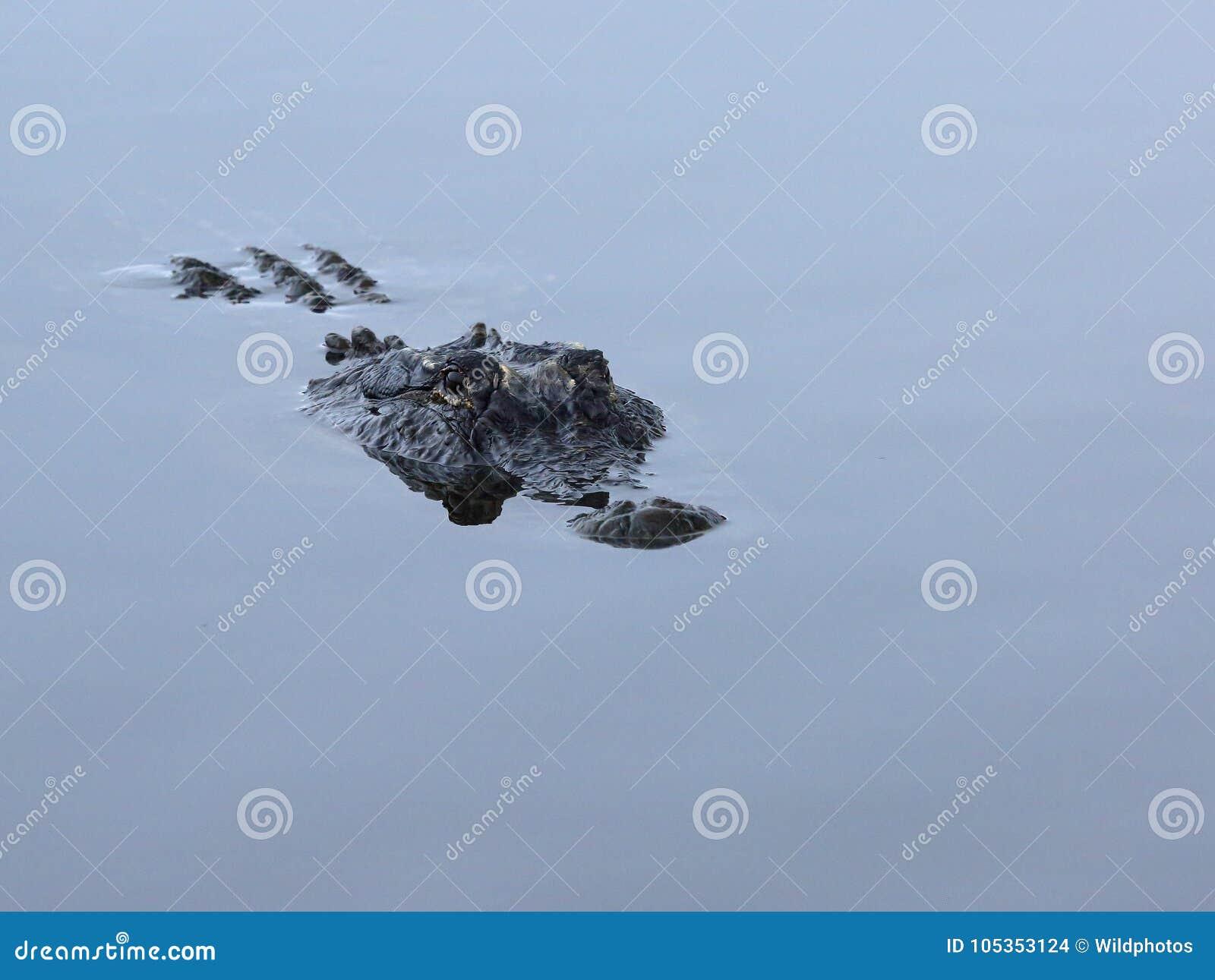 Stronniczo zanurzający Amerykański aligator