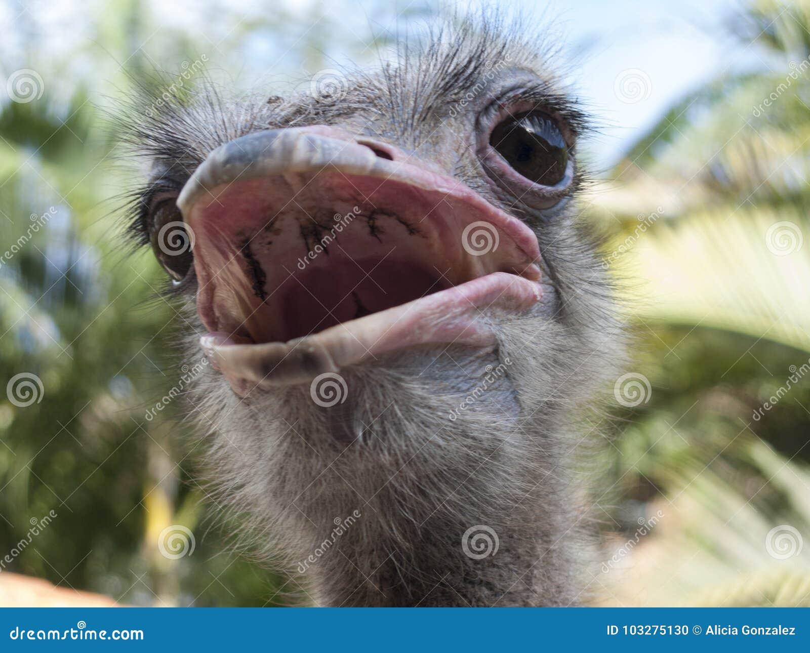 Struś, Struthio camelus