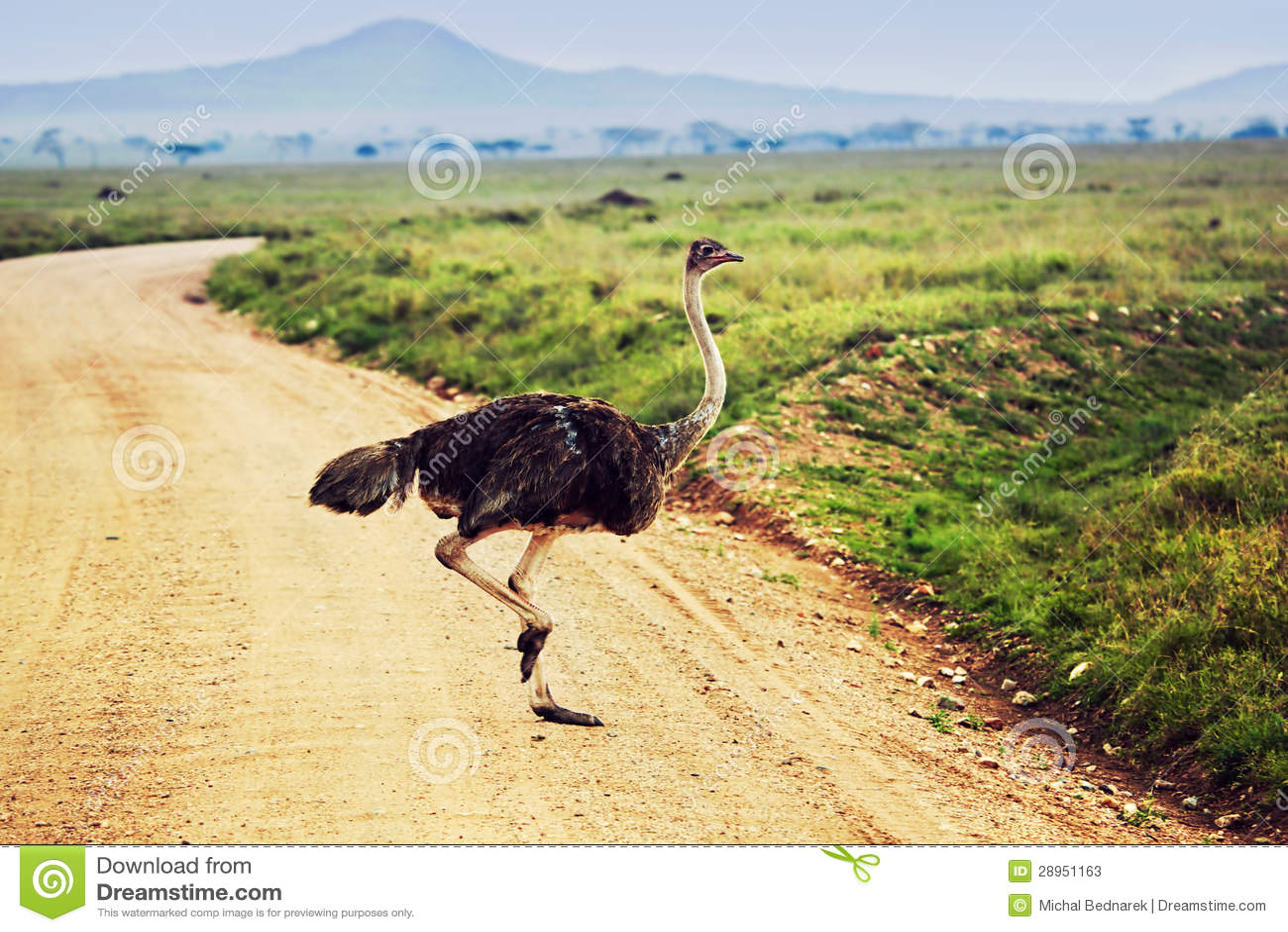 Struś na sawannie, safari w Tanzania, Afryka