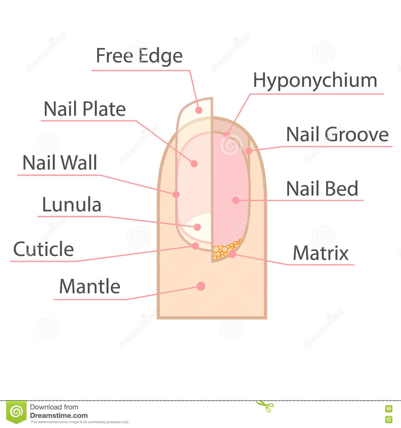 Structure And Anatomy Of Human Nail. Stock Vector - Illustration of ...