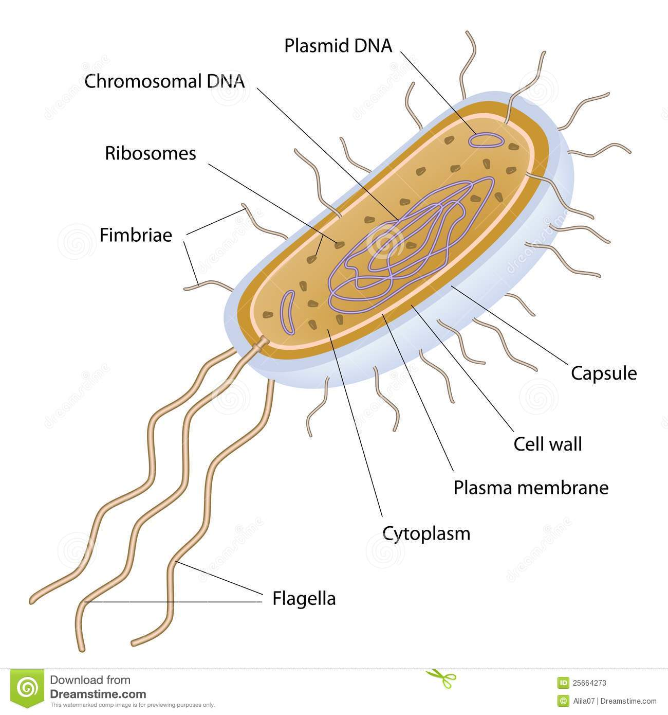 Structure Of A Bacterial Cell Stock Vector