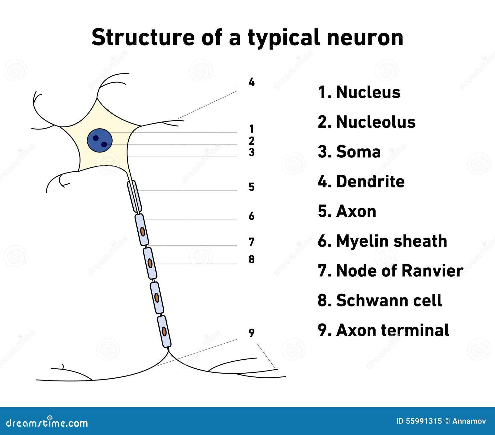 structure d u0026 39 un neurone typique illustration de vecteur