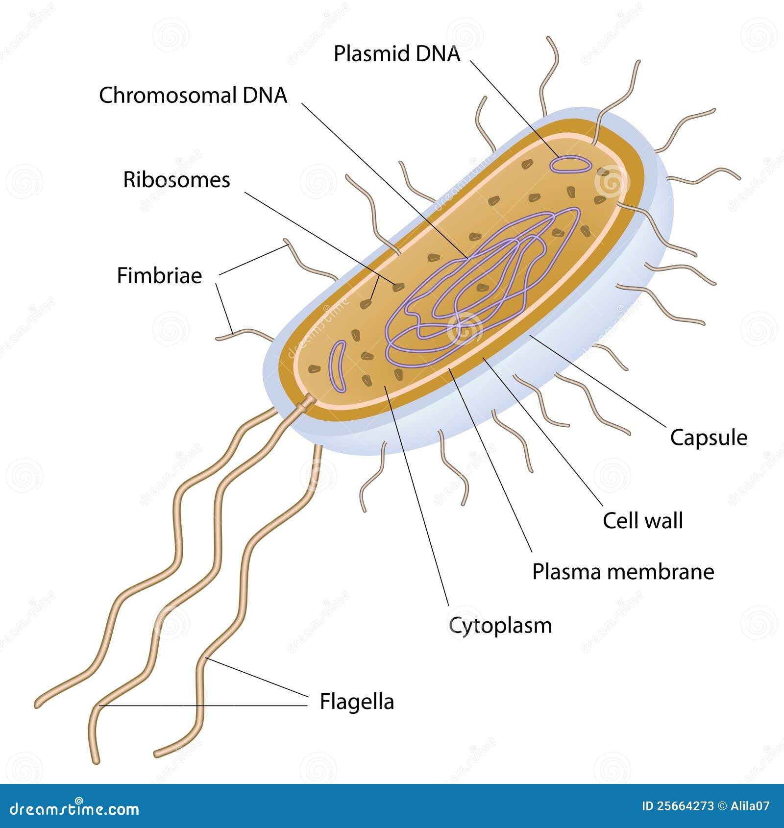 Structure Bactérienne