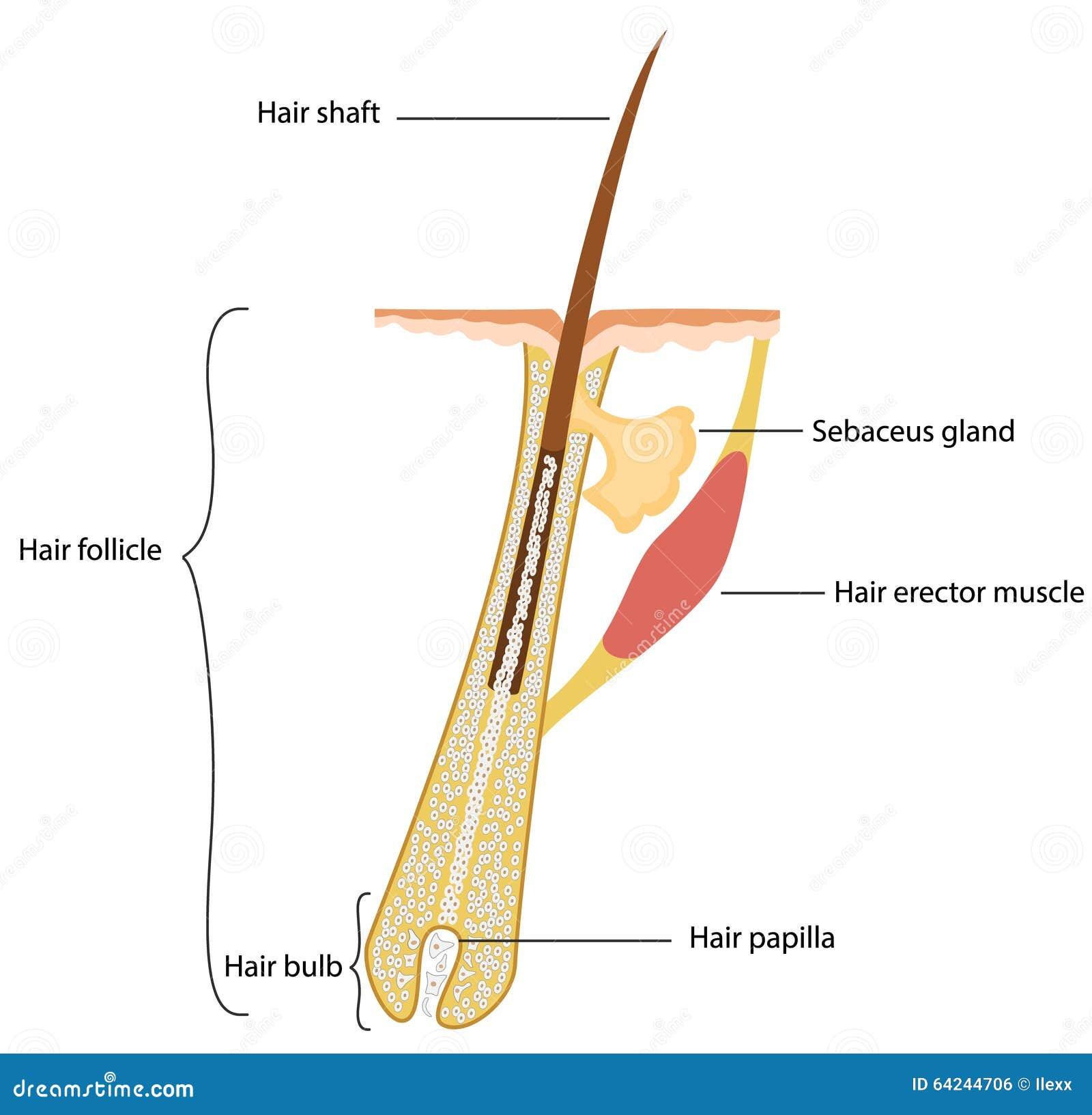 Structure de cheveux