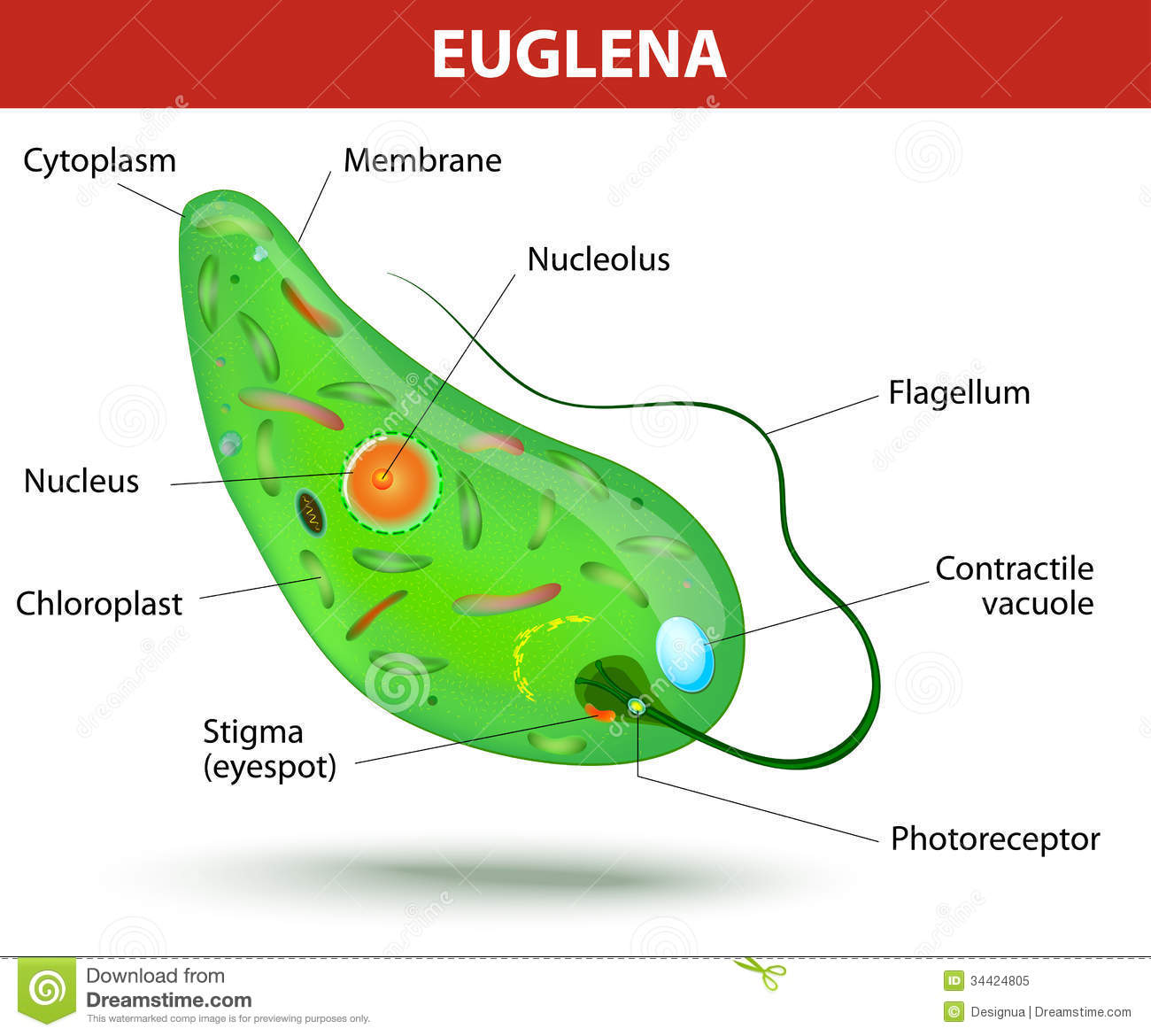 Anatomy of a euglena. Euglena freshwater protozoan. It is composed of ...