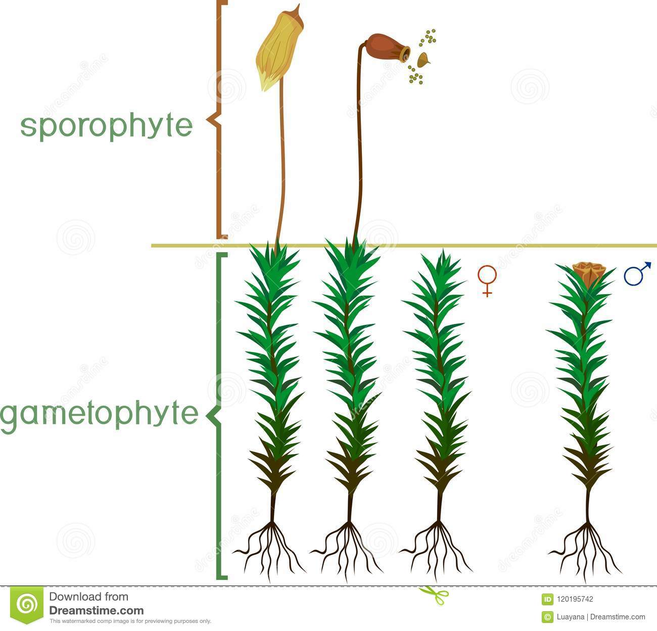 Structure Of Haircap Moss Gametophyte With Sporophyte With