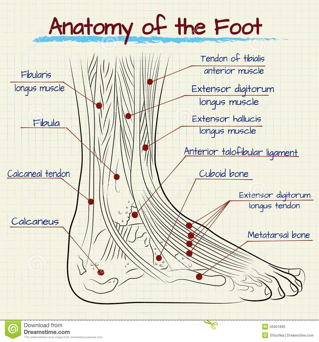 The Structure Of The Human Foot Stock Vector Illustration Of