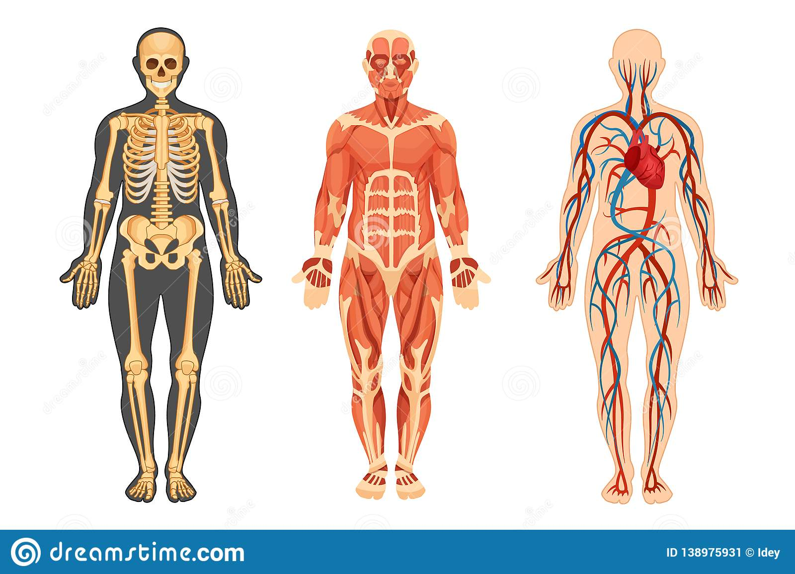 Structure Of Human Skeleton Muscular System System Of Blood