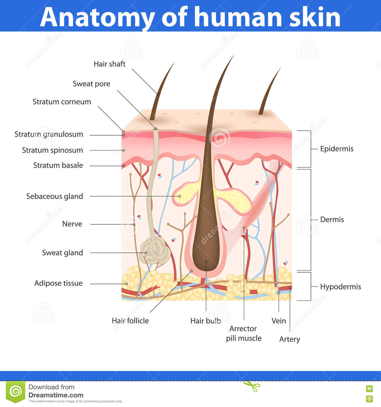 The Structure Of The Human Stomach, Training Medical Anatomical ...