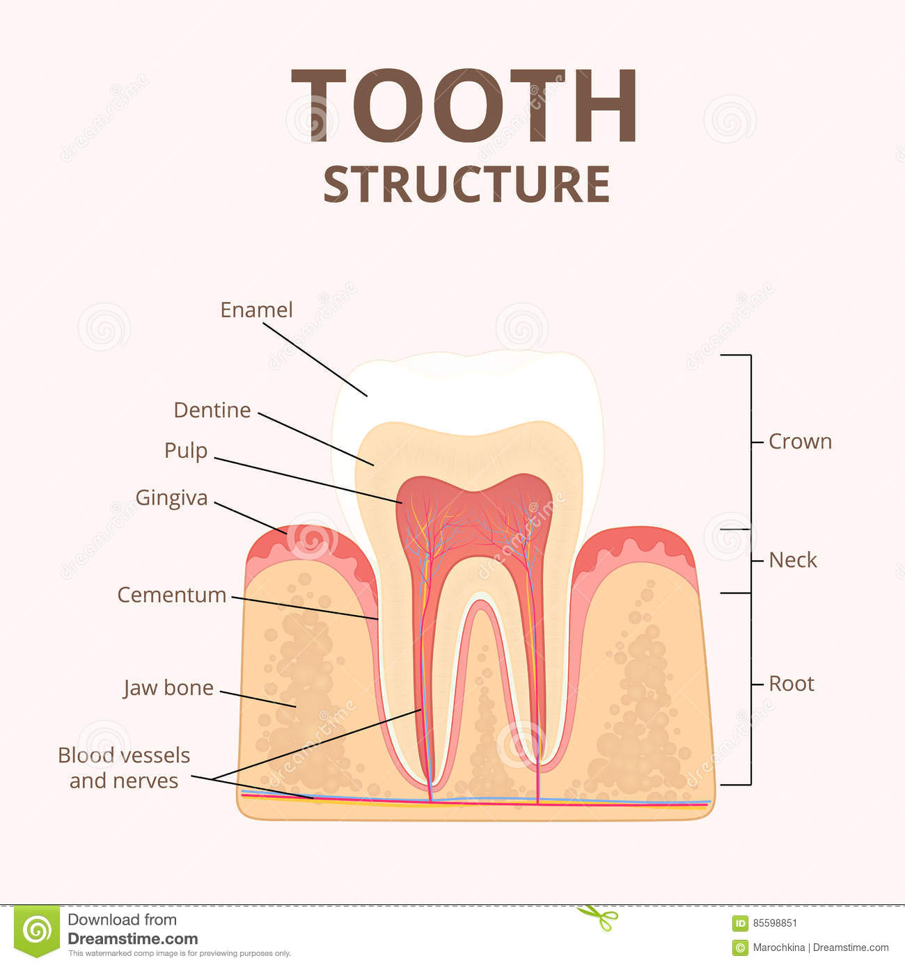 Structure of human teeth stock vector illustration of structure of human teeth pooptronica Images