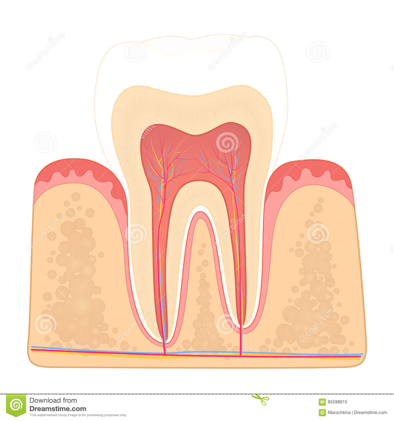 Structure of human teeth stock vector image of oral 85598915 structure of human teeth ccuart Images