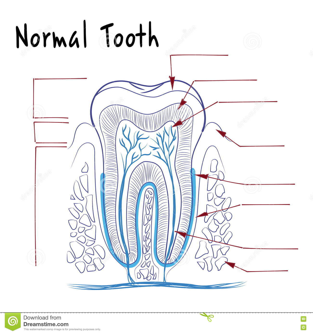 the structure of a normal human tooth stock vector illustration of