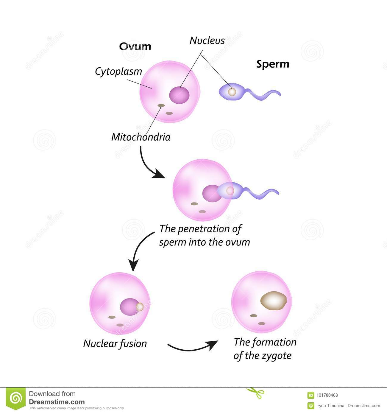 and egg formation The sperm of
