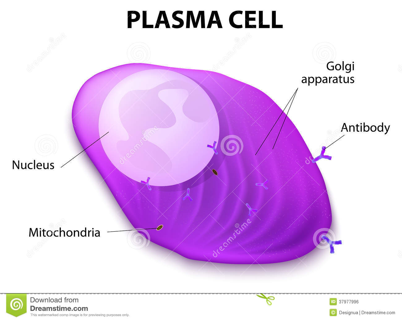 Structure Of The Plasma Cell Stock Vector - Illustration of cell